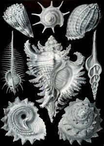 Haeckel_Prosobranchia